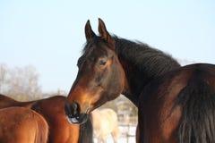 Bruin paardportret in de winter Royalty-vrije Stock Foto