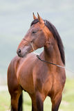 Bruin paardportret die dicht opstaan Stock Foto