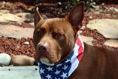 Bruin Pit Bull Wearing Patriotic Bandana royalty-vrije stock foto's