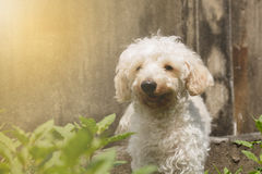 Bruin poedelpuppy, makend zacht licht royalty-vrije stock foto's