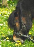 Bruin poneypaard Royalty-vrije Stock Afbeelding