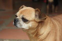 Bruin puf hond stock afbeeldingen