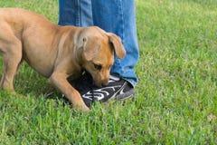 Bruin puppy het bijten schoenveter-hond gedrag Stock Fotografie