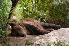 Bruin slapen draagt Stock Foto's
