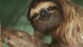 Bruin-Throated drie-Pad luiaard, Costa Rica stock video