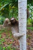 Bruin-Throated luiaard beklimmend op een boom Panama Royalty-vrije Stock Foto