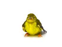 Bruin-Throated sunbird Stock Afbeeldingen