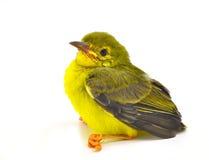 Bruin-Throated sunbird Stock Foto's