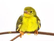 Bruin-Throated sunbird Royalty-vrije Stock Foto