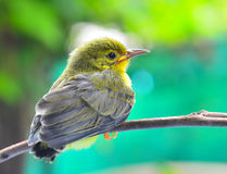 Bruin-Throated sunbird Royalty-vrije Stock Afbeelding