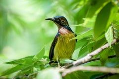 Bruin-Throated Sunbird kijkend aan de linkerzijde Stock Afbeelding