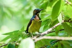 Bruin-Throated Sunbird zich bevindt op boomtak Stock Afbeelding