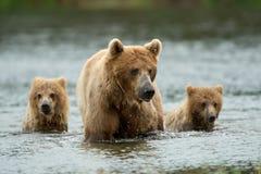 Bruin van Alaska draagt stock foto's