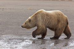 Bruin van Alaska draagt beer stock foto