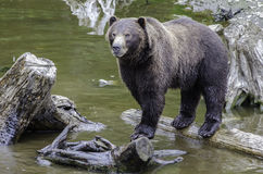 Bruin van Alaska draagt cuC royalty-vrije stock foto