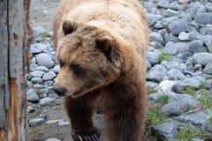 Bruin van Alaska draagt lopend Stock Fotografie