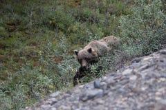Bruin van Alaska draagt (Ursus-arctosgyas) Stock Foto