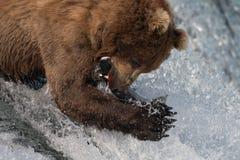 Bruin van Alaska draagt vangende zalm Stock Foto's