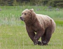 Bruin van Alaska draagt welp het lopen royalty-vrije stock foto