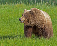 Bruin van Alaska draagt zeug Stock Fotografie