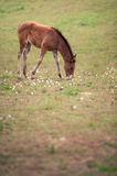 Bruin weidend paard Stock Foto's
