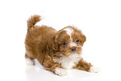 Bruin weinig havanese puppy royalty-vrije stock foto's
