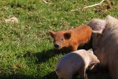 Bruin weinig varken in groep royalty-vrije stock foto