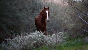 Bruin wild paard stock videobeelden