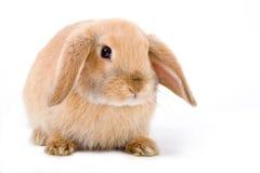 Bruin-wit geïsoleerd konijntje, stock afbeeldingen
