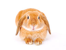 Bruin-wit konijntje royalty-vrije stock foto