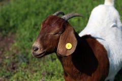 Bruin-witte geit op het groene gebied van de de lenteweide stock foto
