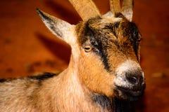 Bruin, zwart-wit geitclose-up De geit heeft levendig, dreigend e Royalty-vrije Stock Afbeeldingen