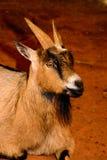 Bruin, zwart-wit geitclose-up De geit heeft levendig, dreigend e Stock Fotografie