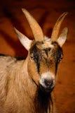 Bruin, zwart-wit geitclose-up De geit heeft levendig, dreigend e Stock Afbeelding