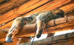 Bruine Aap met het lange haar rusten stock afbeelding