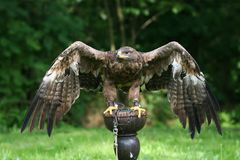 Bruine adelaar Royalty-vrije Stock Foto's