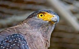 Bruine adelaar met gele ogen royalty-vrije stock afbeelding