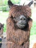 Bruine Alpaca Stock Foto