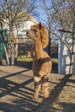 Bruine alpaca die zich in het landbouwbedrijf bevinden Stock Afbeeldingen
