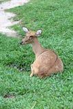 Bruine antilope die op gras rusten Stock Foto's