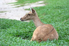 Bruine antilope die op gras rusten Stock Afbeeldingen
