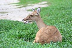 Bruine antilope die op gras rusten Royalty-vrije Stock Afbeelding