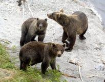 Bruine beren Royalty-vrije Stock Foto