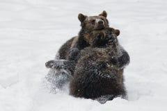 Bruine beren Royalty-vrije Stock Afbeelding