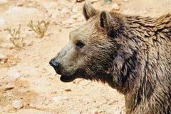 Bruine Beren Stock Foto