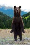 Bruine beren Royalty-vrije Stock Foto's