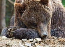 Bruine beren Royalty-vrije Stock Fotografie