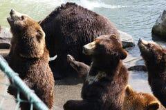 Bruine beren Stock Afbeeldingen
