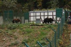 Bruine beren in de dierentuin die achter de omheining lopen stock fotografie