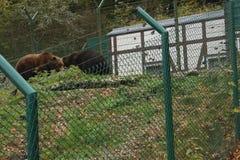 Bruine beren in de dierentuin die achter de omheining lopen stock afbeeldingen
